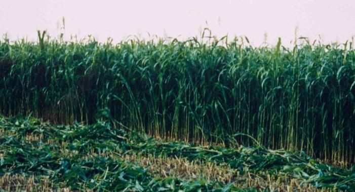 ΕΛ.Γ.Α. – Αναγγελία δηλώσεων ζημιάς για τις καλλιέργειες αραβοσίτου, από εισβολή αρκούδας, στο Άργος Ορεστικό