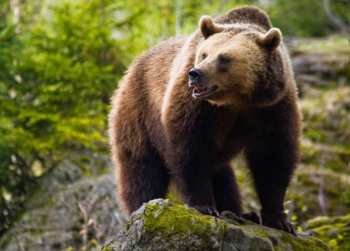 Αναγγελία δηλώσεων ζημιάς για τις καλλιέργειες αραβοσίτου, από εισβολή αρκούδας, στην Δημοτική Κοινότητα Άργους Ορεστικού