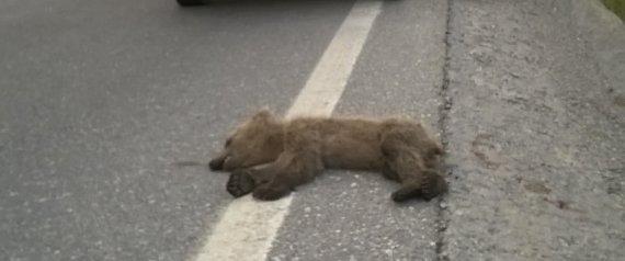 Νεκρό αρκουδάκι και πάλι από τροχαίο στην Εγνατία Οδό