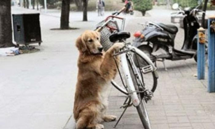 Θα μείνετε άφωνοι: Σκύλος φυλάει το ποδήλατο του ιδιοκτήτη του! (Video)