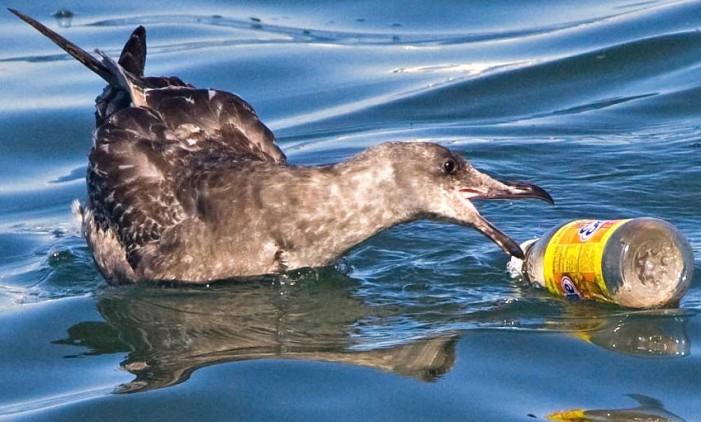 9 στα 10 θαλασσοπούλια έχουν φάει πλαστικά