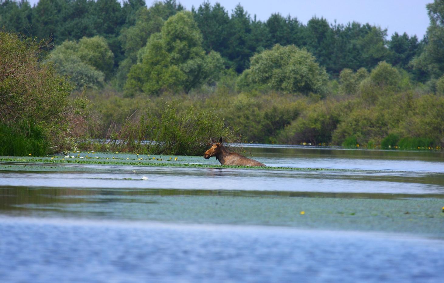Μια άλκη κολυμπάει... Φωτο: Φωτο: Valeriy Yurko