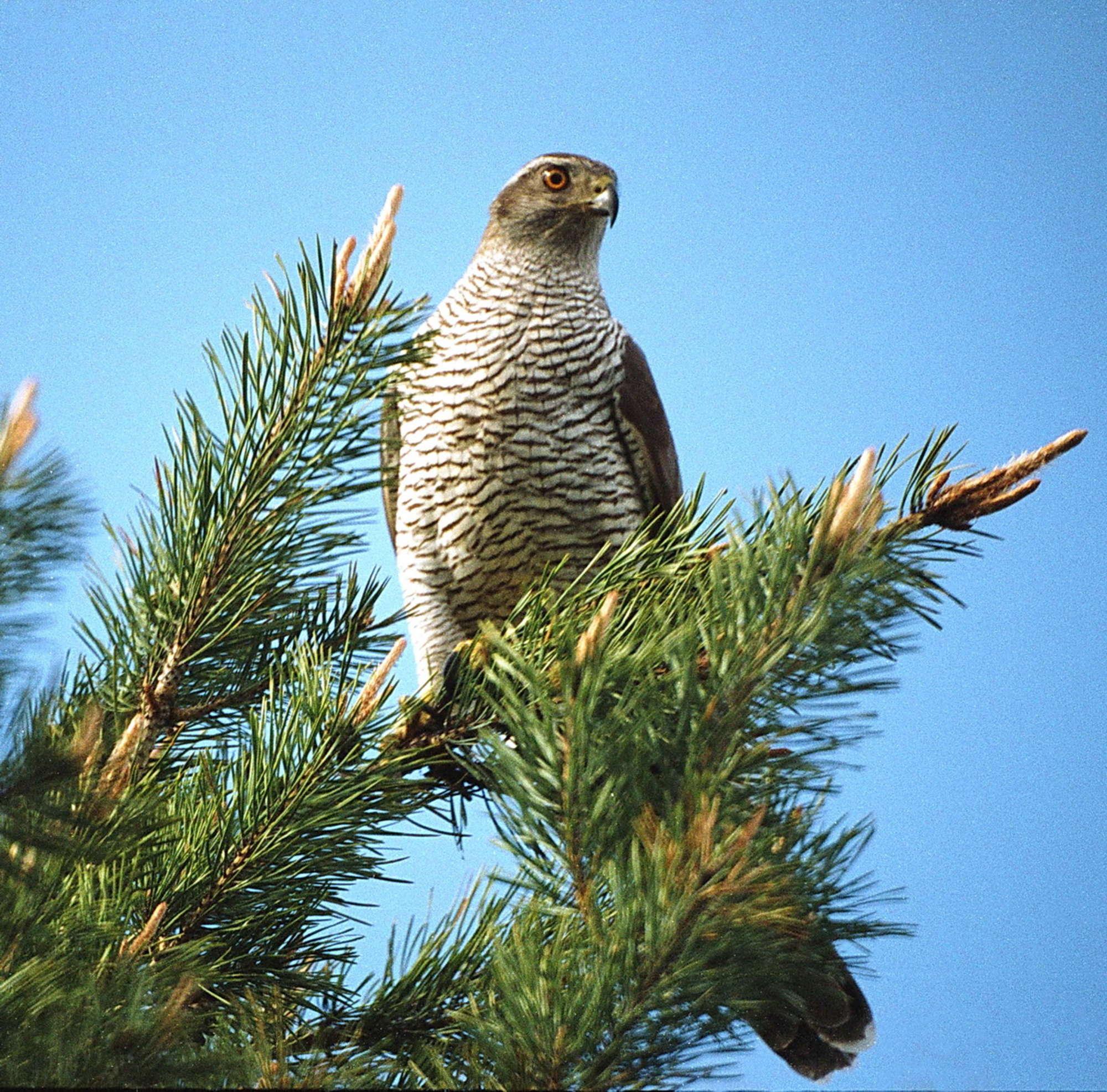 Ένα διπλοσάινο (αρπακτικό πουλί). Φωτο: Valeriy Yurko