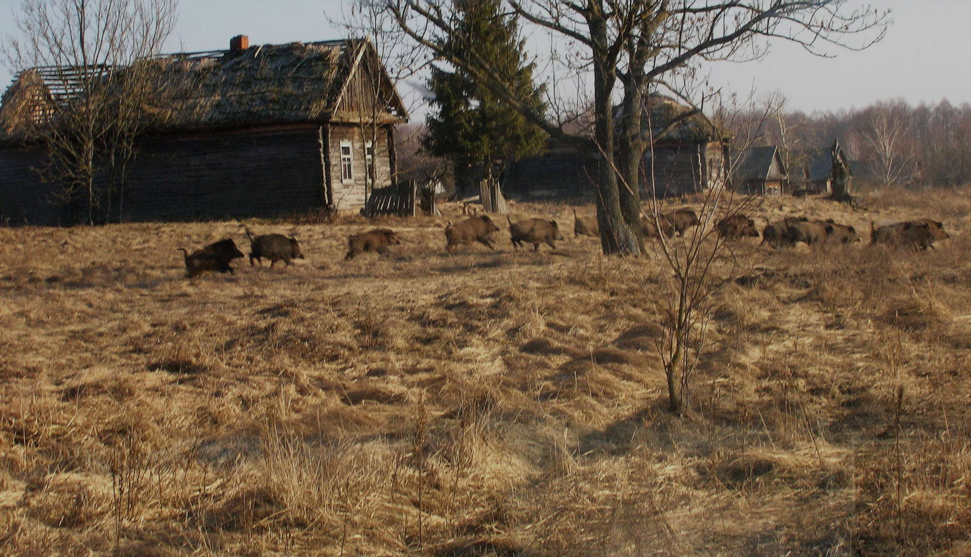 Αγριόχοιροι σε χωριό... Φωτο: Valeriy Yurko