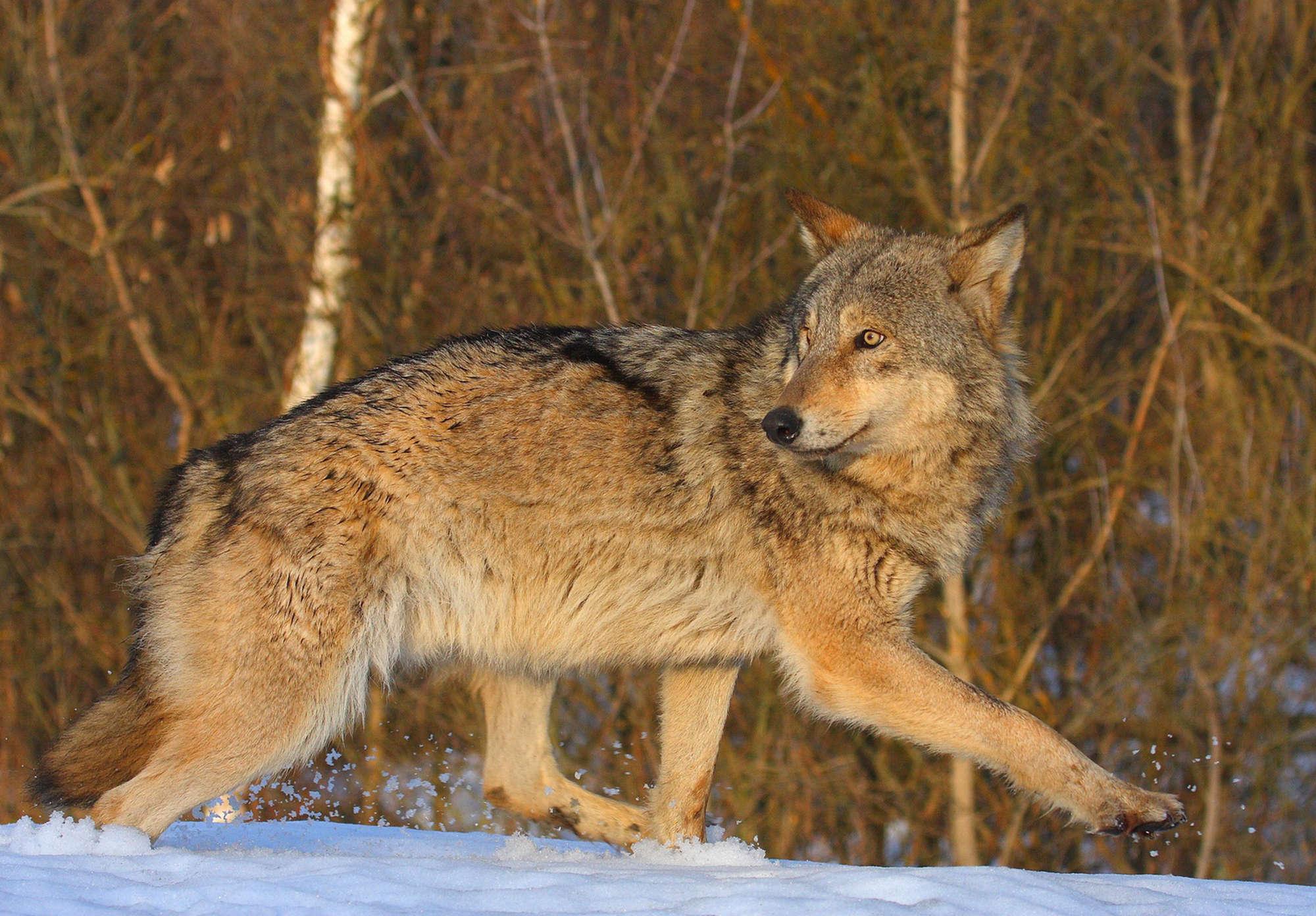 Λύκος. Φωτο: Valeriy Yurko Πηγή: www.lifo.gr