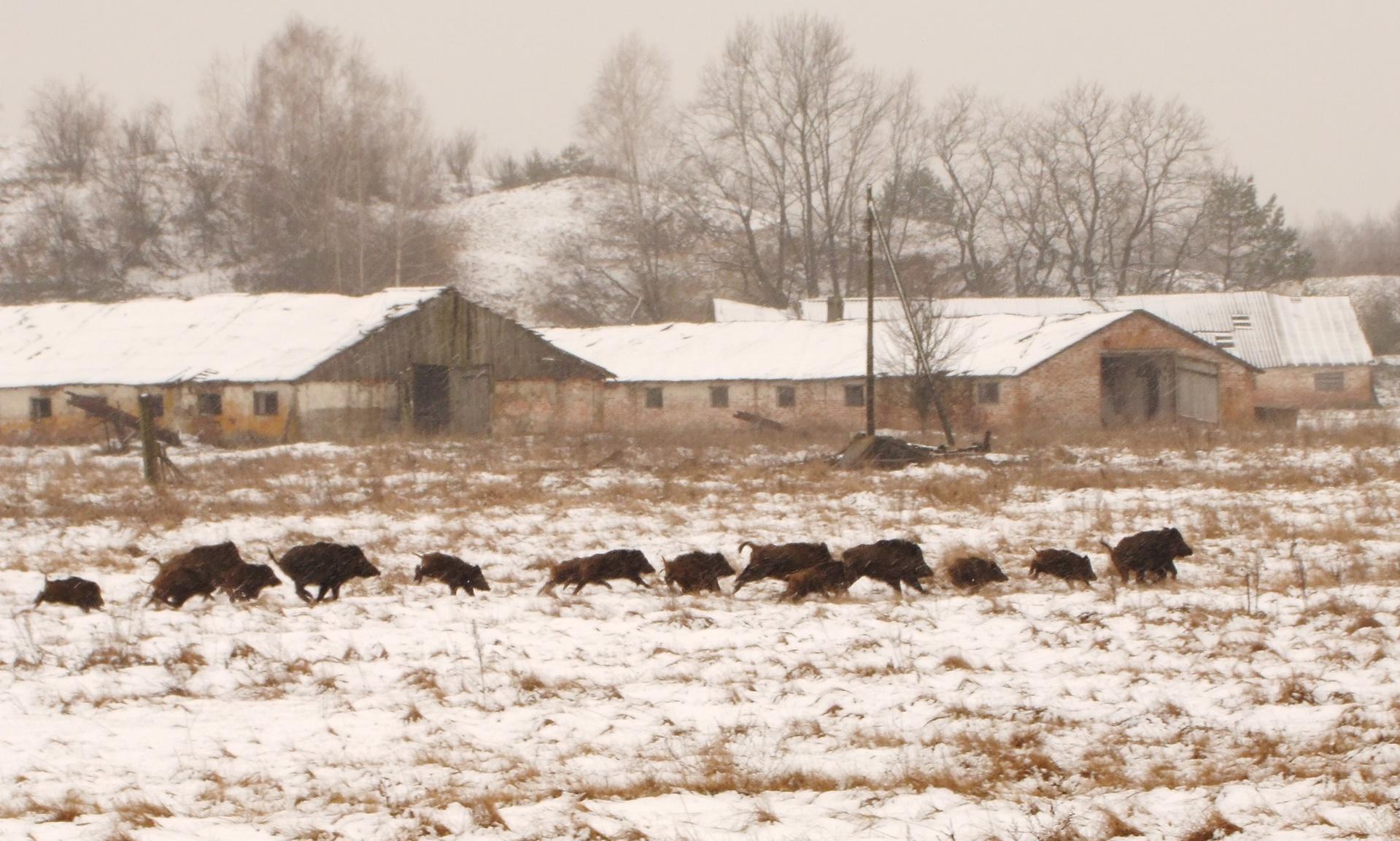 Αγέλη αγριογούρουνων στα χιόνια. Φωτο: Valeriy Yurko