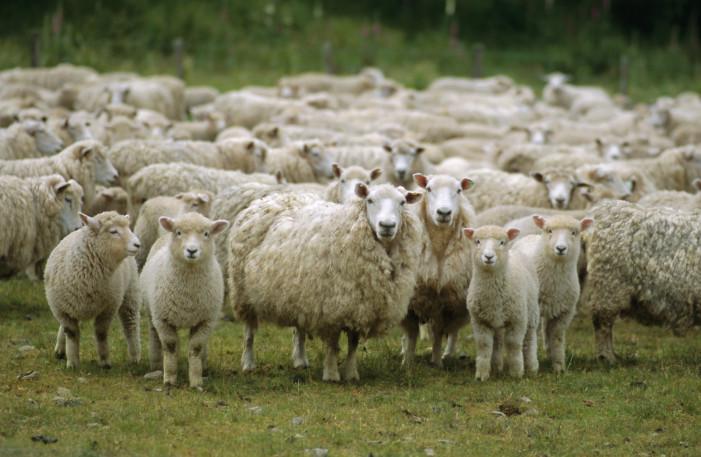 Δύο αδέλφια κατηγορούνται ότι έκλεψαν 329 πρόβατα!