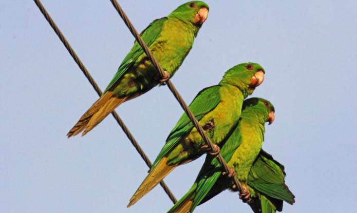 Η Αθήνα γέμισε πράσινους παπαγάλους!