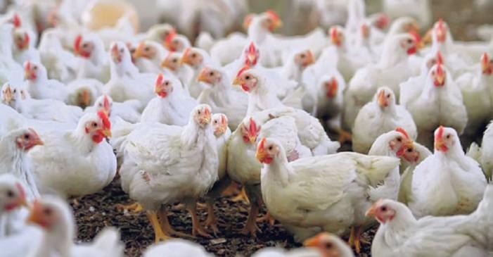 H5N1: 8 χώρες ανέστειλαν τις εισαγωγές πουλερικών από τη Γαλλία