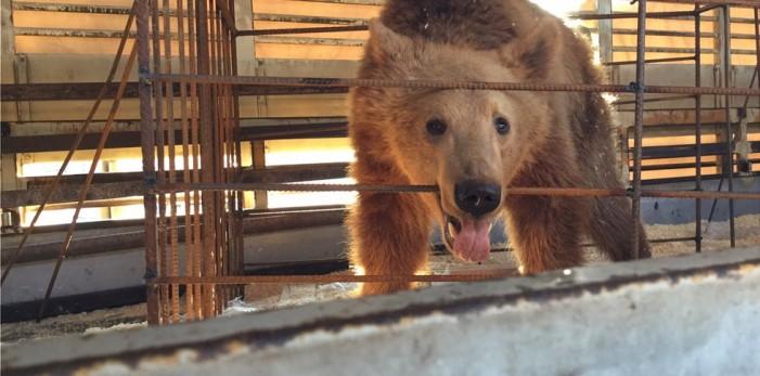 Τρεις ανήλικες αρκούδες στον Αρκτούρο