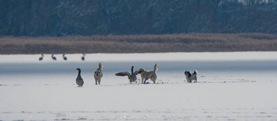 Σκυλιά κατασπάραξαν χήνες στο Μαυροχώρι μέσα στην παγωμένη λίμνη