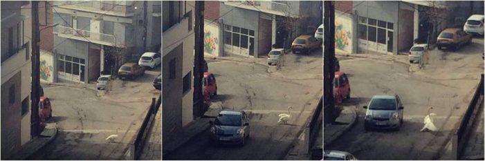Καστοριά: O κύκνος έχασε το δρόμο και βρέθηκε στην… Καλλιθέα!