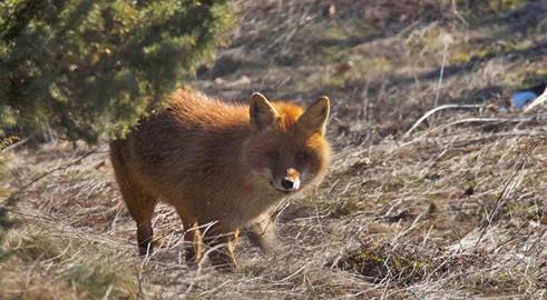 Καστοριά:  Οι… αλεπούδοι στο φακό του Κώστα Καπουργά (βίντεο)