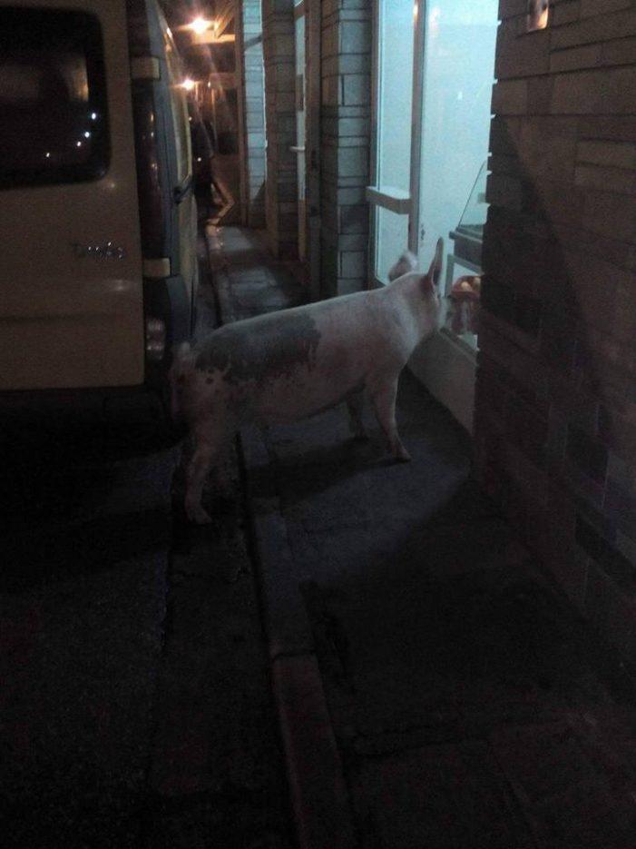 Ένα γουρούνι έκανε βόλτες στο Άργος (φωτογραφίες)