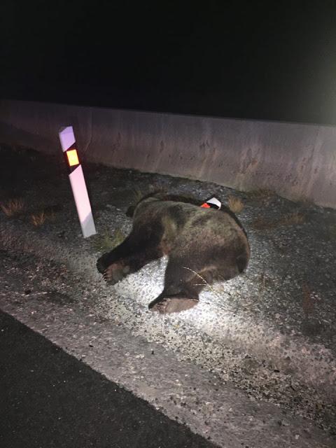Τροχαίο ατύχημα με θύμα μια αρκούδα επί της Εγνατίας Οδού, στο ύψος της Σιάτιστας