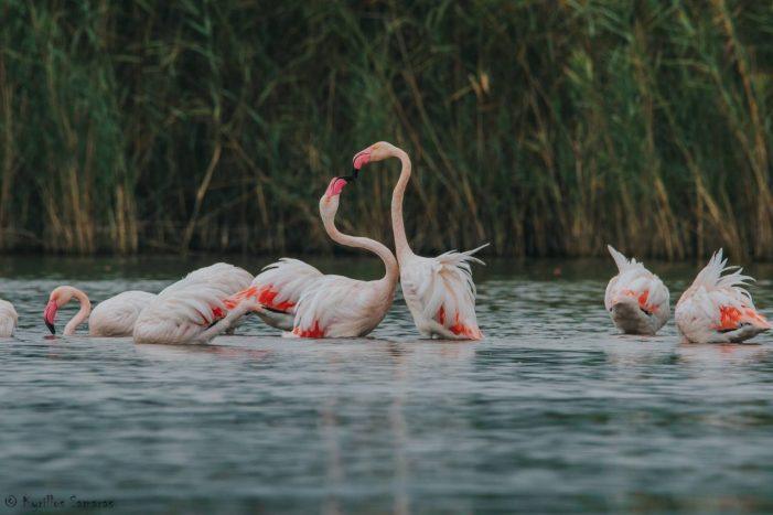 Φλαμίνγκο στην λίμνη της Καστοριάς (φωτογραφίες)