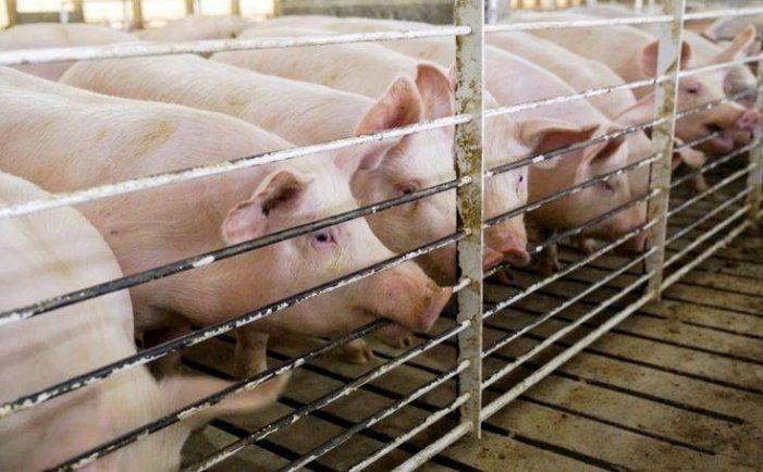Συναγερμός στην Κίνα: Ανακαλύφθηκε νέος ιός γρίπης σε χοίρους – «Μπορεί να προκαλέσει πανδημία»