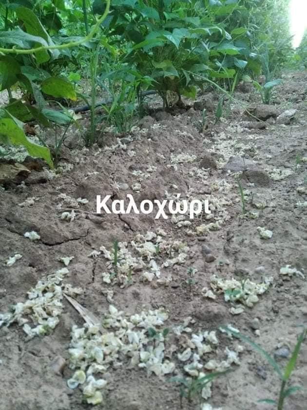 ΠΕ Καστοριάς: Δύσκολη χρονιά για τους φασολοπαραγωγούς λόγω των υψηλών θερμοκαρασιών